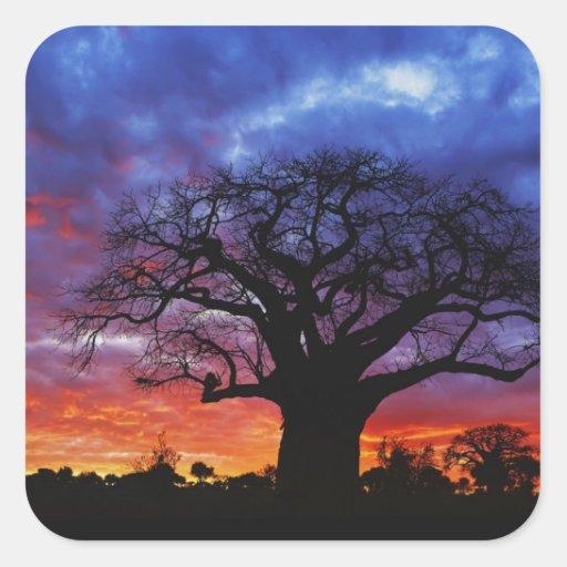 African baobab tree, Adansonia digitata, 2 Square Sticker