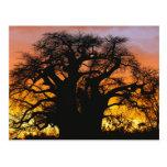 African baobab tree, Adansonia digitata, Post Cards