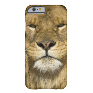 African Barbary Lion, Panthera leo leo, one of Barely There iPhone 6 Case