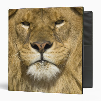 African Barbary Lion, Panthera leo leo, one of Binder
