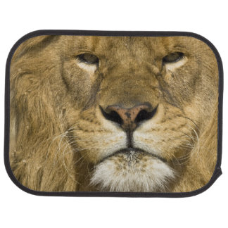African Barbary Lion, Panthera leo leo, one of Car Floor Mat