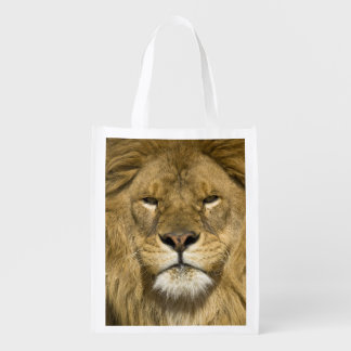 African Barbary Lion, Panthera leo leo, one of Grocery Bags