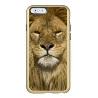 African Barbary Lion, Panthera leo leo, one of Incipio Feather Shine iPhone 6 Case