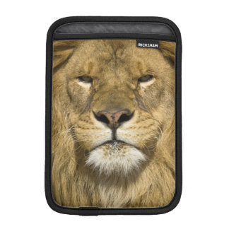 African Barbary Lion, Panthera leo leo, one of iPad Mini Sleeve
