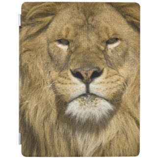 African Barbary Lion, Panthera leo leo, one of iPad Smart Cover