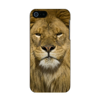 African Barbary Lion, Panthera leo leo, one of Metallic Phone Case For iPhone SE/5/5s