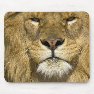 African Barbary Lion, Panthera leo leo, one of Mouse Pad