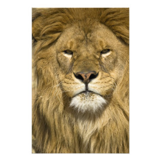 African Barbary Lion, Panthera leo leo, one of Photo Print