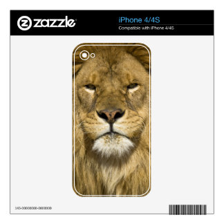 African Barbary Lion, Panthera leo leo, one of Skin For iPhone 4