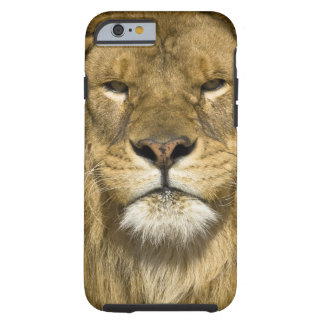 African Barbary Lion, Panthera leo leo, one of Tough iPhone 6 Case