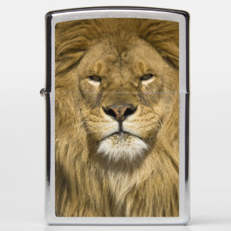 African Barbary Lion, Panthera leo leo, one of Zippo Lighter