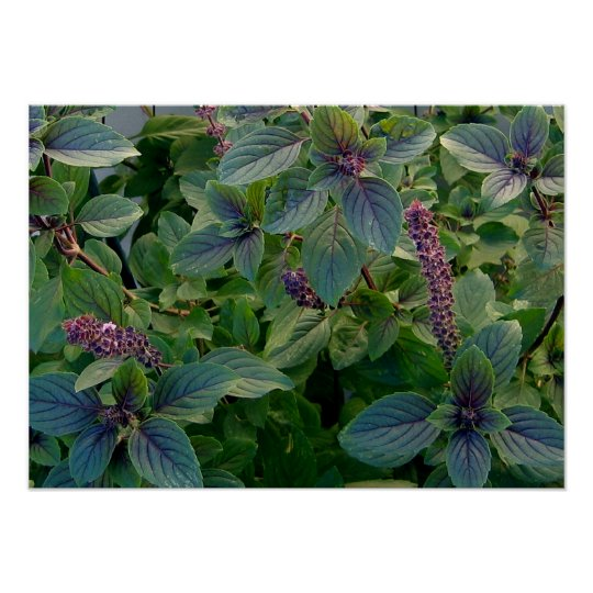 African Blue Basil Poster