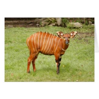 african bongo 1 card
