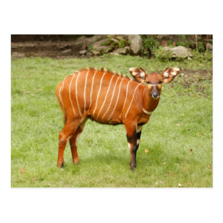 african bongo 1 postcard