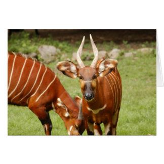 african bongo 4 card