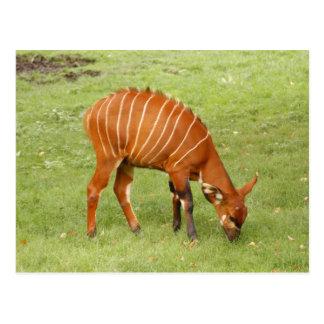 african bongo 5 postcard