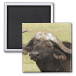 African Buffalo, Syncerus caffer, standing in 2 Inch Square Magnet