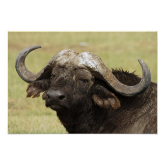 African Buffalo, Syncerus caffer, standing in Poster
