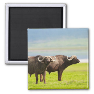 African buffaloes magnet