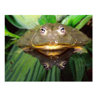 African Burrowing Bullfrog, Pyxicephalus 2 Postcard