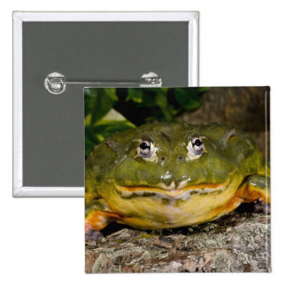 African Burrowing Bullfrog, Pyxicephalus Button