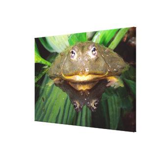 African Burrowing Bullfrog, Pyxicephalus Canvas Print