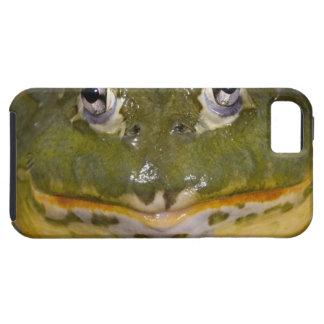 African Burrowing Bullfrog, Pyxicephalus iPhone 5 Cover