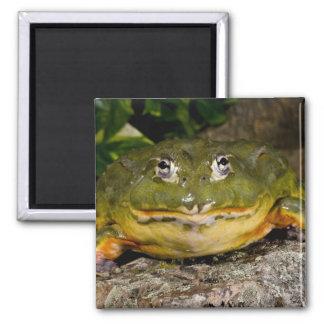 African Burrowing Bullfrog, Pyxicephalus Magnet