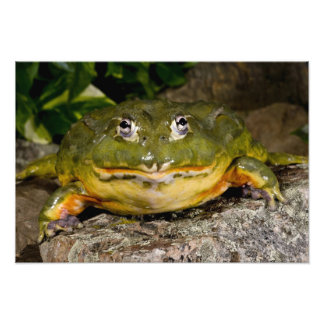 African Burrowing Bullfrog, Pyxicephalus Photo Print