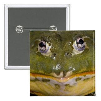African Burrowing Bullfrog, Pyxicephalus Pinback Button