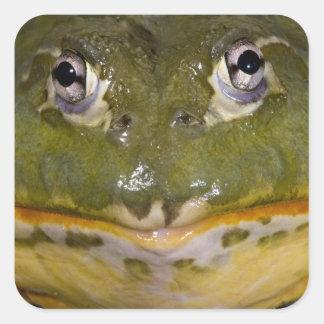 African Burrowing Bullfrog, Pyxicephalus Square Sticker