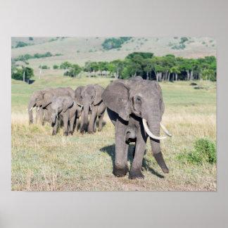 African Bush Elephant (Loxodonta Africana) 2 Poster