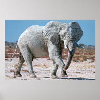 African Bush Elephant (Loxodonta Africana) 3 Poster