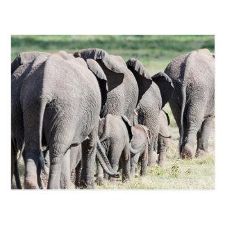 African Bush Elephant (Loxodonta Africana) 4 Postcard