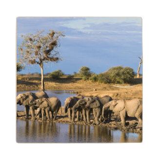 African Bush Elephant (Loxodonta Africana) Herd Maple Wood Coaster