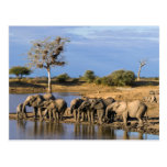 African Bush Elephant (Loxodonta Africana) Herd Postcard