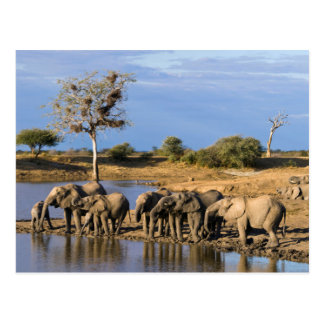 African Bush Elephant (Loxodonta Africana) Herd Post Cards