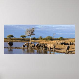 African Bush Elephant (Loxodonta Africana) Herd Poster