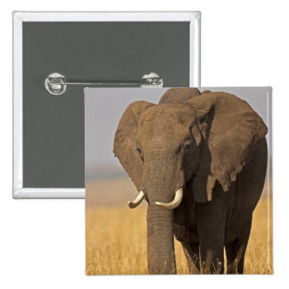 African Bush Elephant Loxodonta africana) on Buttons