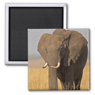 African Bush Elephant Loxodonta africana) on Magnet