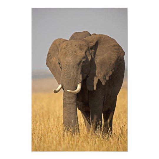 African Bush Elephant Loxodonta africana) on Photo Print