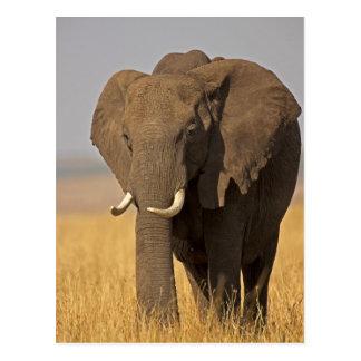 African Bush Elephant Loxodonta africana) on Postcard