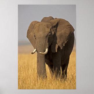 African Bush Elephant Loxodonta africana) on Poster