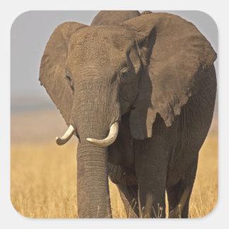 African Bush Elephant Loxodonta africana) on Square Stickers