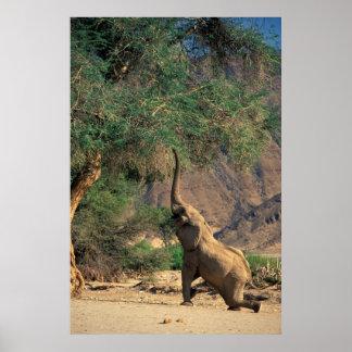African Bush Elephant (Loxodonta Africana) Poster