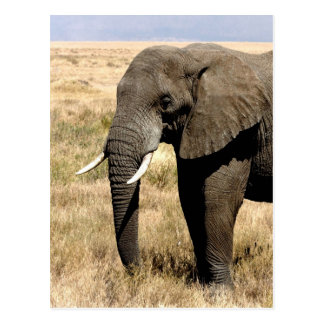African Bush Elephant  moving to success Postcard