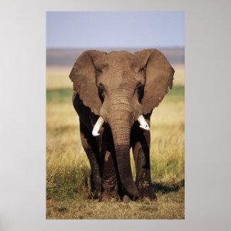 African Bush Elephant Poster