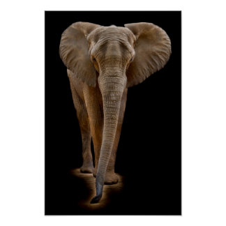 African Bush Elephant Poster