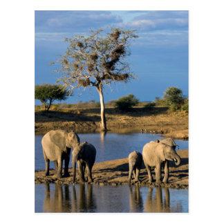 African Bush Elephants (Loxodonta Africana) Postcard