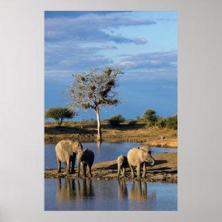 African Bush Elephants (Loxodonta Africana) Poster